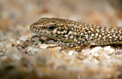 Catalonian Wall Lizard (Podarcis liolepis cebennensis) juvenile