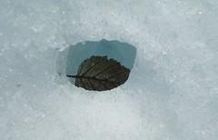 Knik leaf