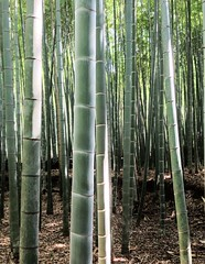 bamboo, tree, grove, forest, trunk, natural environment,