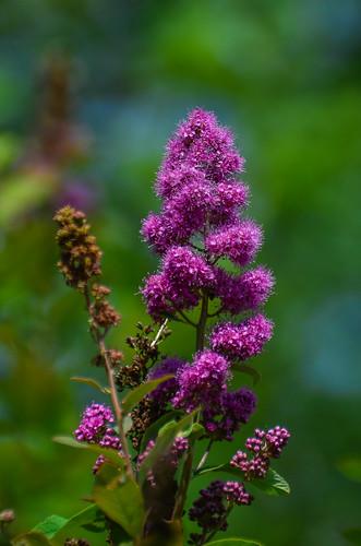 <p><i>Spiraea douglasii</i>, Rosaceae<br /> Burnaby Lake Park, Burnaby, British Columbia, Canada<br /> Nikon D5100, 70-300 mm f/4.5-5.6<br /> June 29, 2013</p>