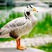 阳光下的鸭子