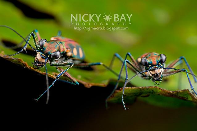 Tiger Beetles (Cicindelinae) - DSC_0791