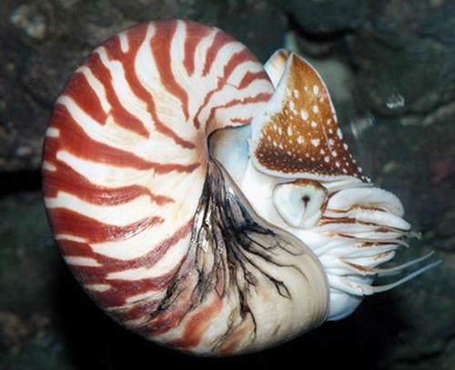 鸚鵡螺是真正具有外殼的頭足類,構造原始,有活化石之稱。圖片作者:李坤瑄。