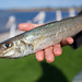 King George Whiting (12)