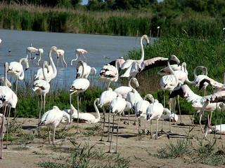 164 groep jonge flamingo's