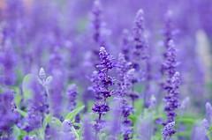 hyssopus, annual plant, flower, purple, english lavender, plant, lavender, lilac, lavender, wildflower, flora,