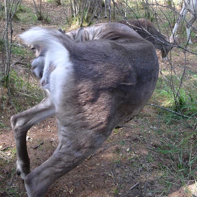 敖鲁古雅驯鹿