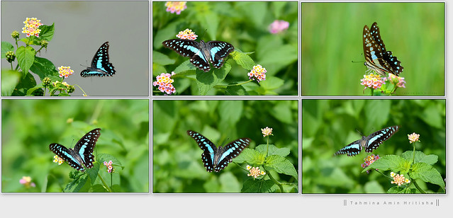 Common Jay (Graphium doson) butterfly..