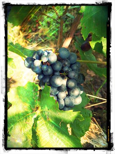 Pinot noir côte de Beaune