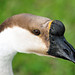 Domestic Swan Goose - Photo (c) Heather Paul, some rights reserved (CC BY-ND)