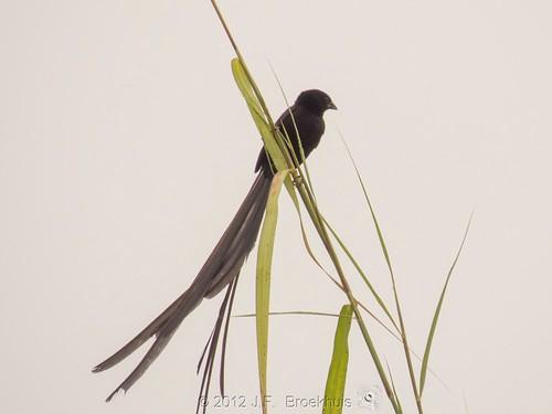africa bird sierraleone euplectes widowbird foya redcollaredwidowbird euplectesardens