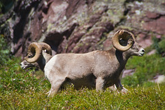 animal, grass, argali, nature, mammal, horn, fauna, wildlife,
