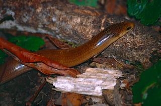 Three-toed Snake-tooth Skink (Coeranoscincus reticulatus)