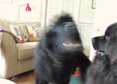 Newfies at play