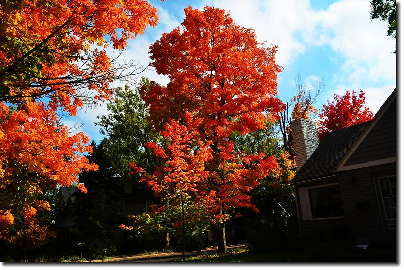 Maple in Fall, Mapleton Hill, Boulder (30)