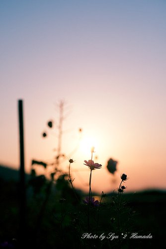flowers autumn light sunset sky cloud black flower color fall nature silhouette yellow japan photography nikon 日本 秋 cosmos d800 夕焼け コスモス f28 下灘駅