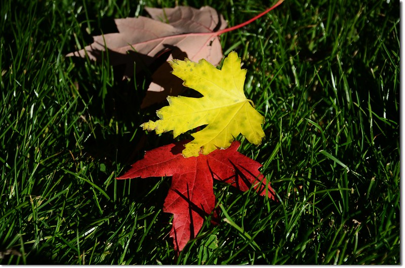 Silver maple in Fall, Chautauqua, Boulder 4