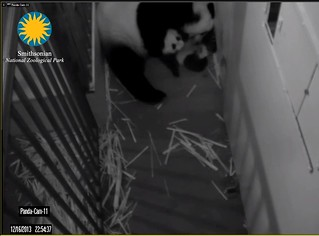 Giant Panda Cam - National Zoo.clipular8