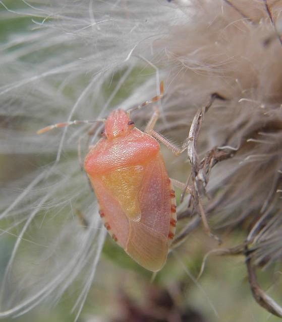 Dolycoris baccarum - bogyómászó poloska