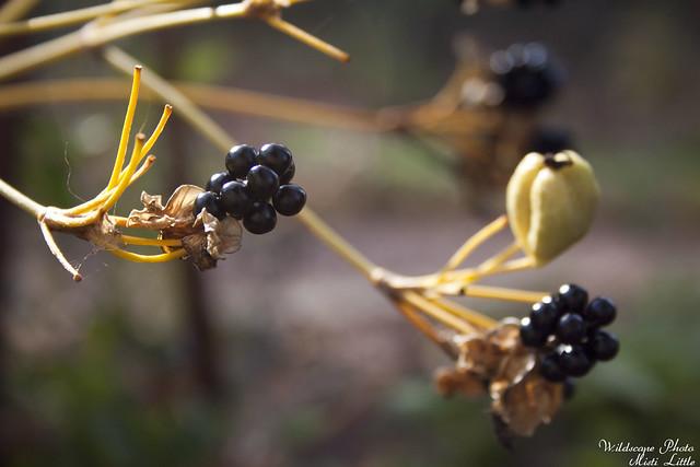 blackberrylily2