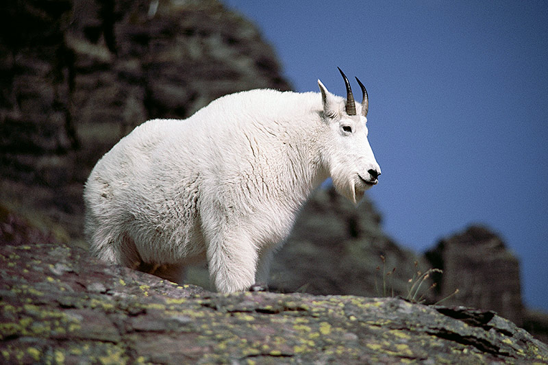Wildlife in British Columbia, Canada: Mountain Goat / Rocky Mountain Goat