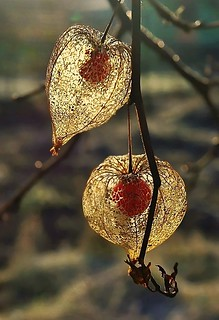 Golden physalis