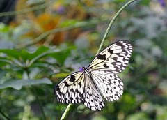 arthropod, animal, moths and butterflies, butterfly, wing, invertebrate, fauna, pieridae,