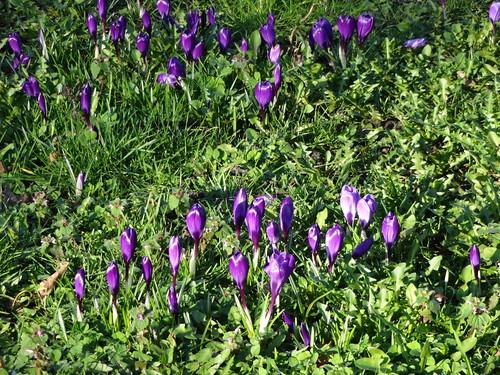 Blackheath RS Already spring flowers! width=