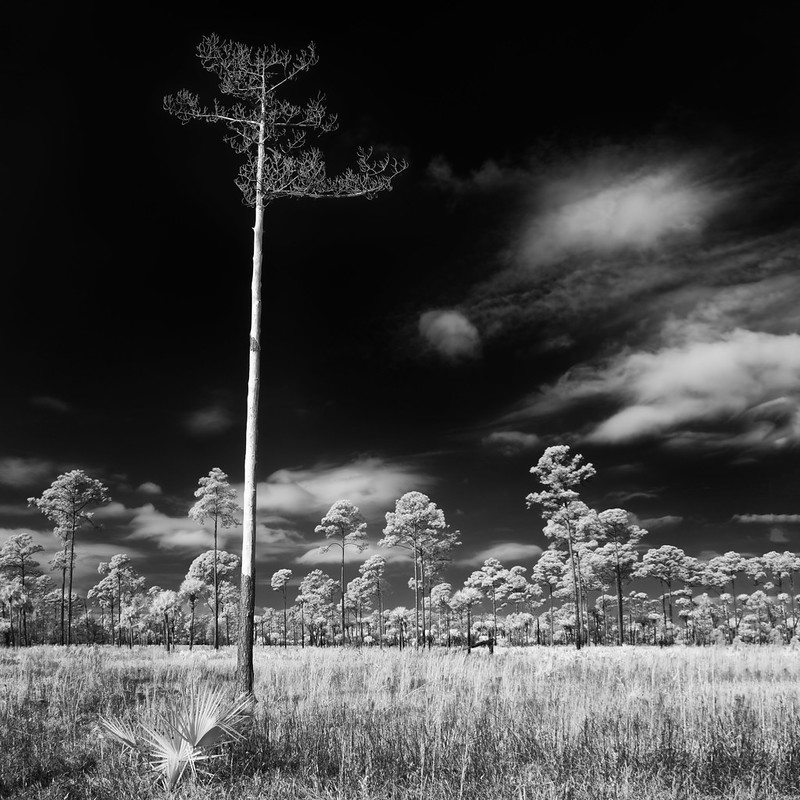 Lonesome lifeless pine