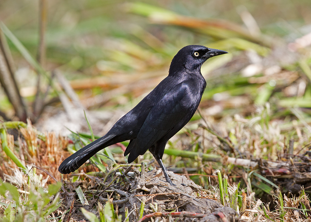 Carib Grackle 2014-02-04