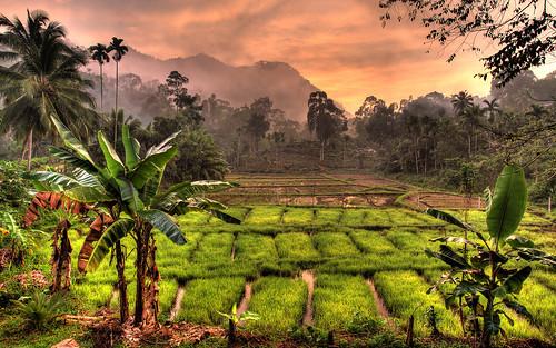srilanka paddyfield sinharaja sinharajarainforest sinharajaforestreserve weddagala bluemagpielodge