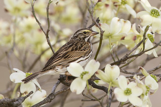 Savannah_Sparrow-9857