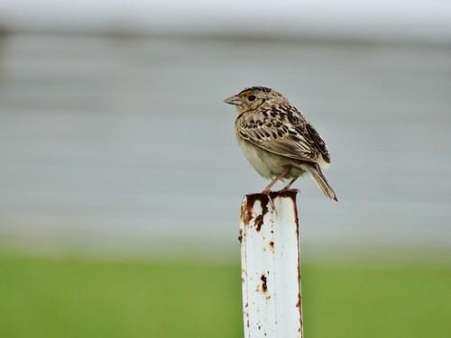 Grasshopper Sparrow (6.5.15)