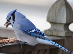 Blue Jay (I wonder how many peanuts he can cram into his mouth?)