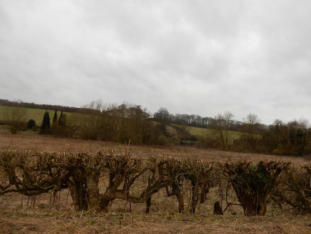 Hedge Chorleywood to Chesham