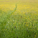 Boynes Meadows 2013 -  Grass and Buttercups