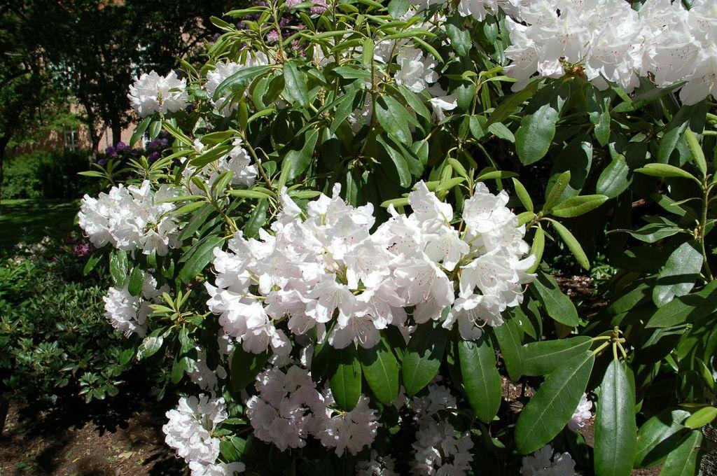 Copenhagen blossom 2