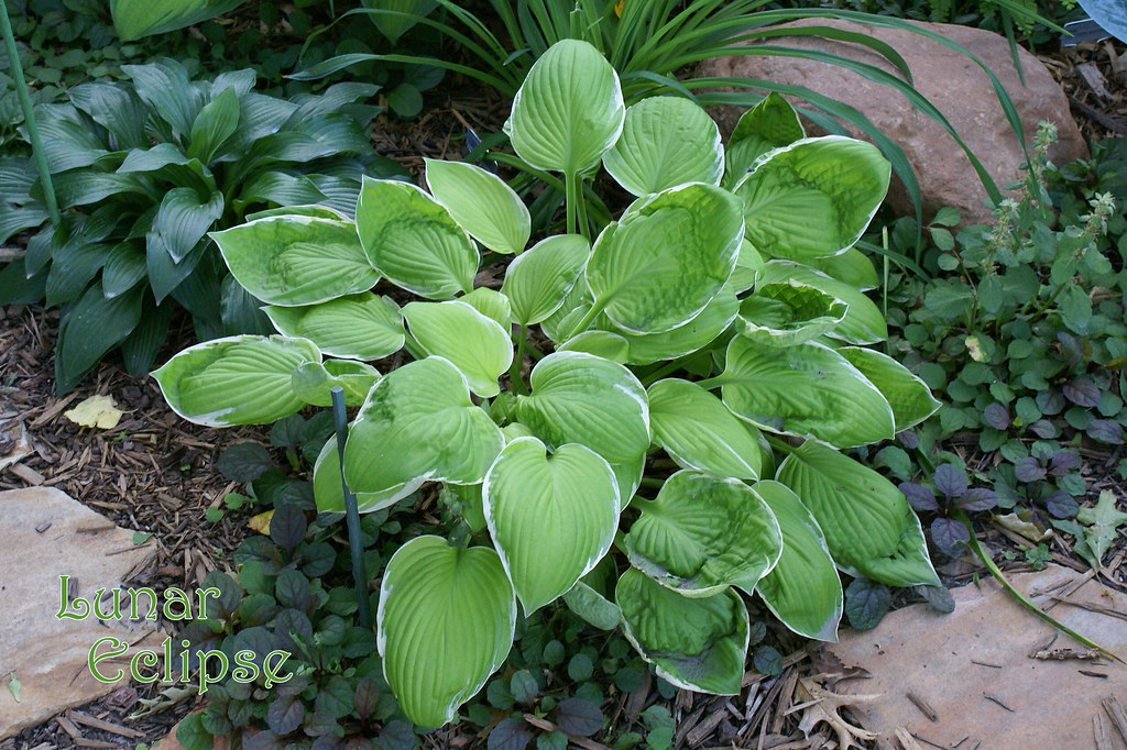 Hosta 'Lunar Eclipse' (05)