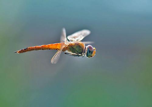 dragonflying