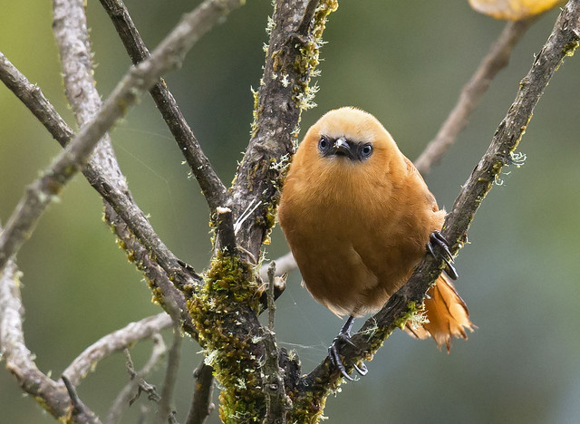 Cucarachero rufo - Rufous Wren - Cinnycerthia unirufa 09