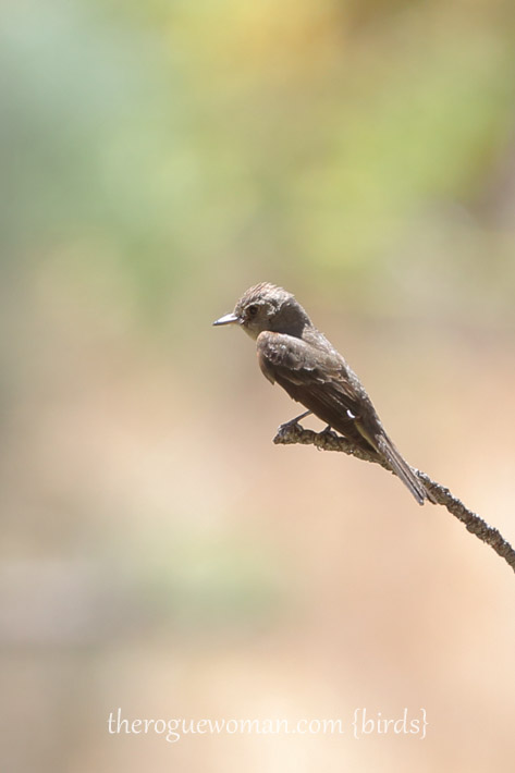081813_bird_flycatcher