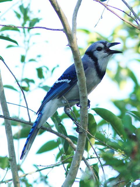 Blue Jay 20130920