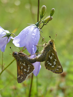 Silver-Spotted Skipper (hesperia comma)