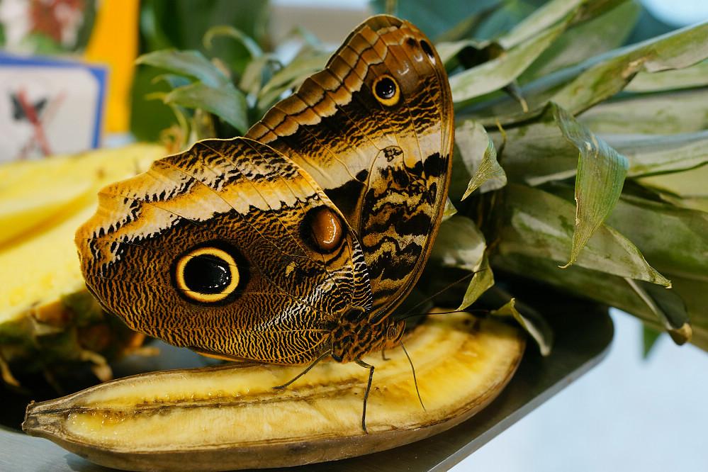 美洲蛺蝶 Caligo atreus-2