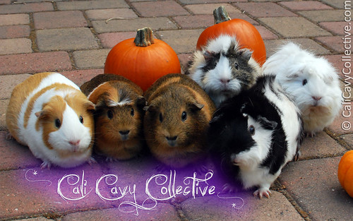The Cali Cavy Collective guinea pig herd poses for the camera