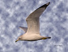 Ring-billed Gull by colorob