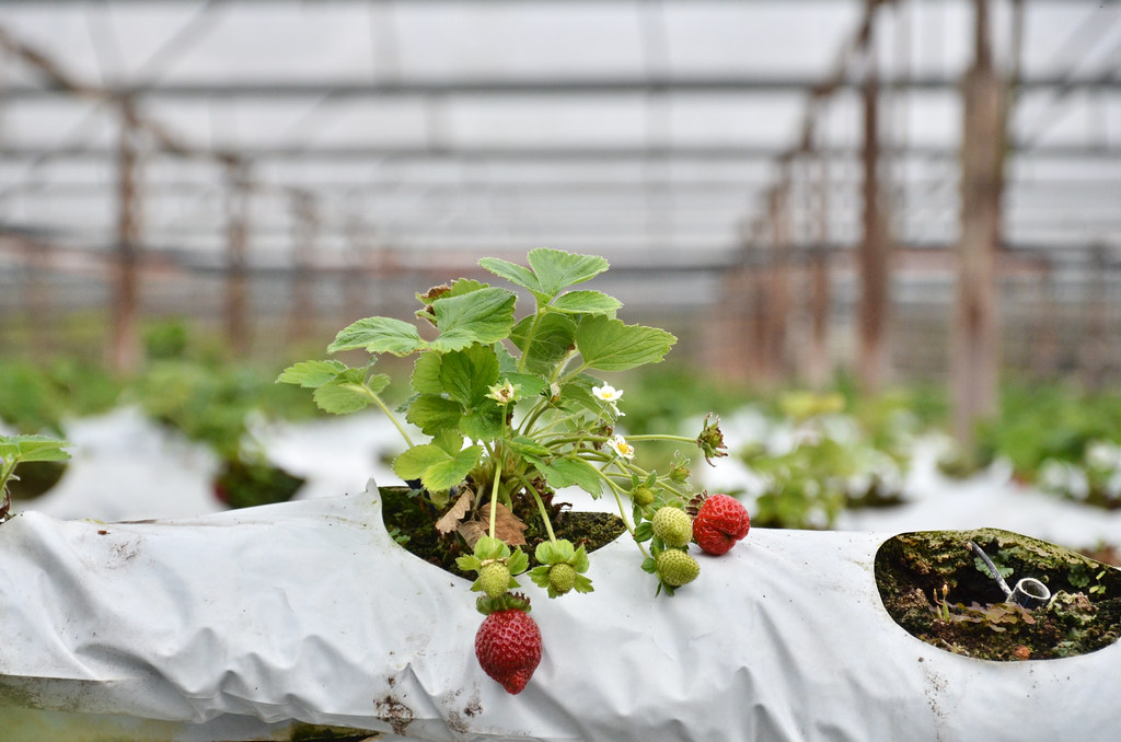 Genting Strawberry & Organic Farm 云顶草莓和有机农场