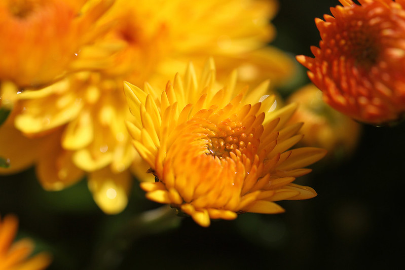 yellow mum2
