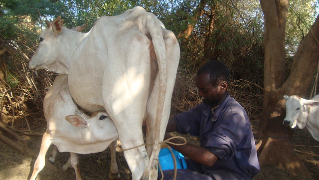 About 4,000 pastoralist households are benefiting from a livestock insurance product that now covers half of northern Kenya. Credit: Miriam Gathigah/IPS