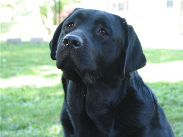 Black Labrador retriever with soulful eyes